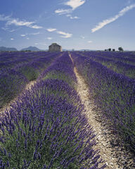 Lavender Fields, Mezel, Provence, France, converging, rows, lavender, chalky, soil, building, stone, blue, sky, lines,