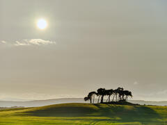 An isolated island of silhouetted Scots pine trees in a verdant green field at the Summer Solstice approaching sunset at Gollanfield near Nairn.