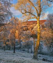Lettoch Winter Gold