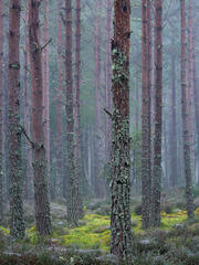 a rare misty morning at Blairs loch with a billion cobwebs strung between heather, moss and slender pine trees.