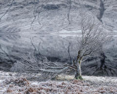 Lightning Tree, Loch a Chroisg, Achnasheen, Scotland, old, tree, lightning, frost, magnificent, broken, limbs, desolatio