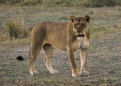 Lioness, Chobe, Botswana, Africa, lion, view, grass, thrill, lioness, evening, hunt, summoning, cubs, growl, menacing