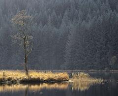 Lone Birch Chon