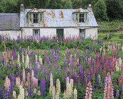 Lupin Dereliction