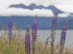Manapouri Lupins, Lake Manapouri, South Island, NZ, sunrise, lupins, display, mountain, cloud, peaks, flowers, focus