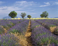 Mezel Plateau, Mezel, Provence, France, aromatic, Provencal, dry, sunlight, bees, lavender, perfume, lines, convergence