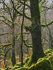 Mossy Sessile Oak Light, Ariundle, Ardnamurchan, Scotland, moss, green, boulders, rim lit, sunshine, bracken, russet, br