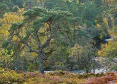 Native Woodland Strathfarrar, Strathfarrar, Highlands, Scotland, scots pine, birch, golden, canopy, tortured, twisted li