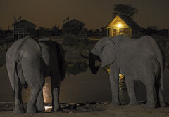 Night Visitors, Elephant Sands, Botswana, Africa, twin, bull, elephants, darkness, illuminated, moonlight, lodges, magic