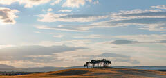 Painted Gold Pines 1, Gollanfield, Highlands, Scotland, cloud, thin, light, wheat, crop, grove, scots pine, sky, charm