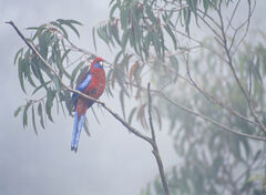 Parrot In The Mist, Katoomba, New South Wales, Australia, Blue mountains, mist, fog, obscured, Echo point, peaks, plumag