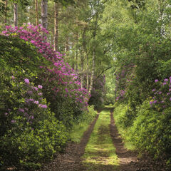Pathway To Paradise, Blairs Loch, Moray, Scotland, Forres, nature, natural, rhodedendron, bloom, verdant, leaves, path,