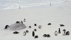 Jack Ass penguins on Boulders white sand beach is now no longer accessible by humans and appears to be strictly the reserve of the penguins.  I