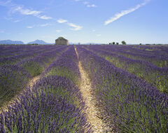 Perfumed Convergence, Mezel Plateau, Provence, France, lavender, soil, chalky, midday, blue, sky, lines, rows, cloud