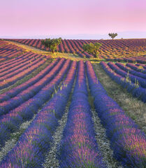 Perfumed Intersection, Valensole, Provence, France, lavender, fields, plateaus, huge, sunrise, delicate, pink, glow