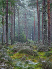 Millions of cobwebs adorn the forest floor slung between the mossy clumps and heather tufts in the open void between the slender red trunks of the pine trees.