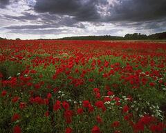 Poppy Plethora, Kilconquhar, Fife, Scotland, dazzling, display, poppies, daisies, heavy, grey, sky, vibrant, white,