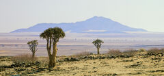 Quiver Tree O, Swakopsmund, Namibia, Africa,travels, mountain, backdrop, space, trees, barren