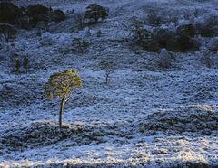 Scots Pine Light