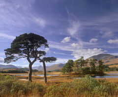 Siamese Pines