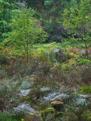 Cobwebs in their thousands normally invisible are laden with dew and occupy almost the entire forest floor shortly after dawn at Blairs Loch in Moray.