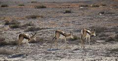 Single File, Etosha, Namibia, Africa, numerous, animals, Springbok, game, beautiful, procession, backlit, plain