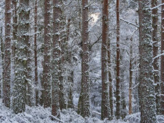 Skylight Winter Pines, Glenferness, Moray, Scotland, Narnia, mysterious, uniform, stand, trees, pine, skylight, pink, winter, snow