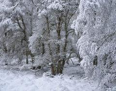 Snow Coated Birches Glen Ferness