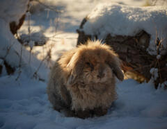 Snow Shoe Toffee, Dallas Dhu, Moray, Scotland, winter, weather, garden, rabbits, snow, fur, backlit, warm, winter, sunshine, whiskesrs, paws, teddy