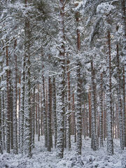 Snow Spattered Pine Forest, Glenferness, Moray, Scotland, regimented, columns, pine trees,, fresh, new, snow, solemnity, Narnia, silent, mystery