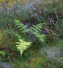 Spiders webs purple heather and bracken fronds slowly changing colour in the summer to autumn transition on the forest floor near Blairs Loch in Moray.