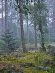 Blue tinged mist and wet red tree trunks of the pine forest create an intriguing mix of colours with the fluttering handkerchiefs of silken cobwebs.