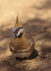 Spinifex Pigeon, Ormiston Gorge, Red Centre, Australia, attractive, pigeons, pecking, enchanting, beautiful
