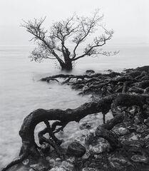 Stuff of Nightmares, Loch Maree, Torridon, Scotland, creeping, wet, roots, submerged, scots pine, winter, squall, rain