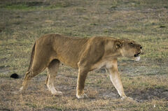 Summoning The Cubs, Chobe, Botswana, Africa, lion, view, grass, lioness, thrill, evening, hunt, summoning, cubs, growl