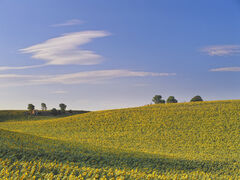 Sunflowers, Valensole, Provence, France, fields, sunflower, dazzling, yellow, blue, sky, clouds, hue, hut, trees, scale