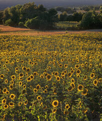 Sunny Side Up, Aups, Provence, France, fields, nodding, sunflowers, French, village, sun, crop