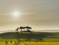 An island of silhouetted scots pine trees provides a charismatic backdrop for a beautiful rural scene featuring a troop of cows grazing in the buttercup fields,