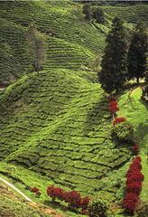 Tea Plantations, Cameron Highlands, Malaysia, S.E. Asia, freshly, picked, plucked, tea, leaves, tea leaves, Boh, Malaysi