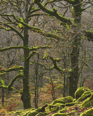 The Mossy Highlights, Ariundle, Ardnamurchan, Scotland, Sessile oaks, woods, vivid, green, liche, ferns, autumn, tapestr