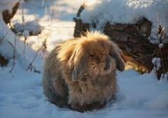 The Toffalump, Dallas Dhu, Moray, Scotland, angorra, lop eared, bunny, grumpy, soft, snow, garden, crown, backlit, hair, lockdown