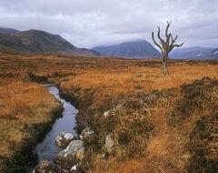 Them Bones, Rannoch Moor, Glencoe, Scotland, old, picture, boney, old, tree, skeletal, isolated, moor, carrot, deer grass, menacing, blue toned peaks, hills