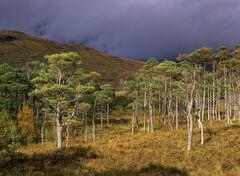 Torridon Pine Sunlight
