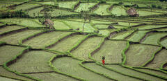Treading The Rice Path, Tirtaganga, Bali, S.E. Asia, rice, terraces, red, figure, person, Balinese, sole, basket, fields