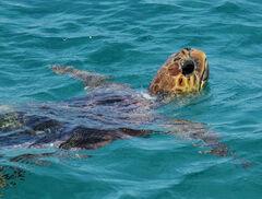 Turtle Zakynthos