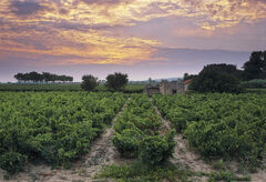 Vineyard Siran