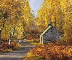 Wary Travellers, Strathfarrar, Highlands, Scotland, autumnal, birch, russet, golden, sheep, three, idyllic