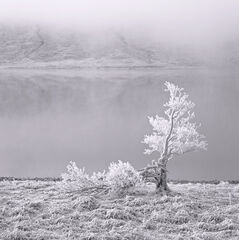 White Lightning Tree Mono