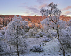 Winter Birch Lettoch