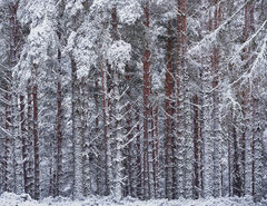 Winter Woodland Barcode, Glenferness Forest, Moray, Scotland, copse, regimented, Scots Pine, red bark, tree trunks, branch, twigs, snow, spattered